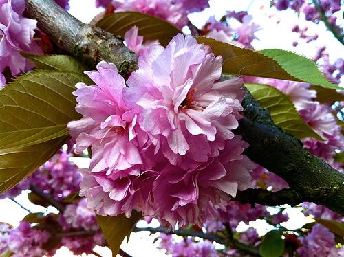 Kiku shidare sakura